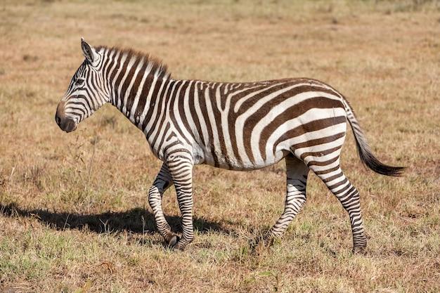 Одна зебра в лугах, африка, кения