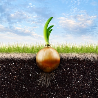 An onion bulb and grass in blue sky
