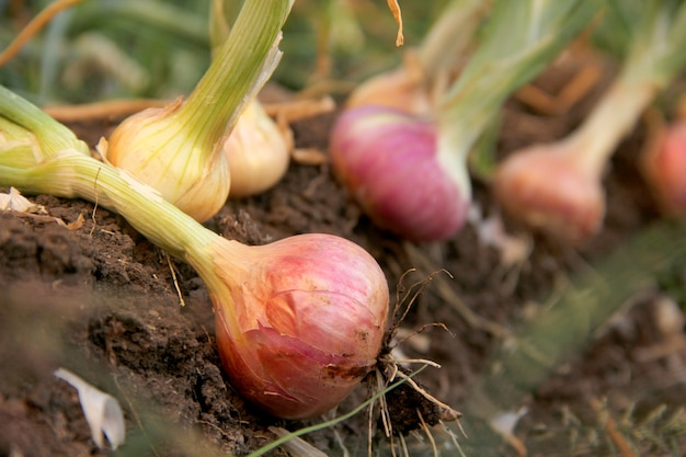 Onion on ground in farm