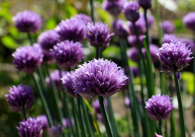양파 또는 골파는 다년생 초본 식물 라틴어 이름 allium schoenoprasum chives 활