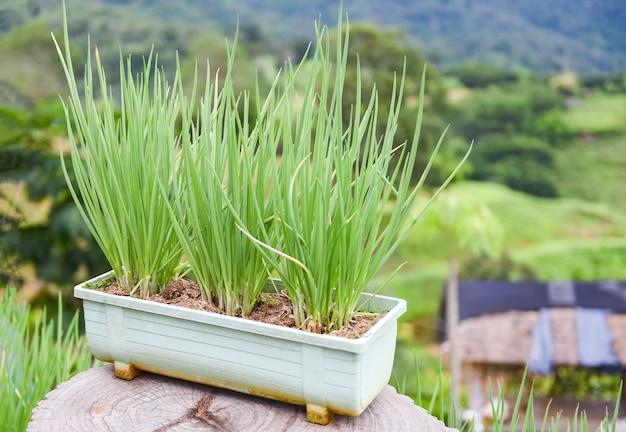 양파는 산의 채소밭에서 냄비에 녹색 모종을 싹