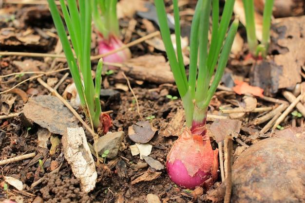 タマネギは庭で美しく育ちます。