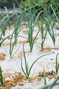 Onions grow in the summer in the garden. hail fell on the onion bed
