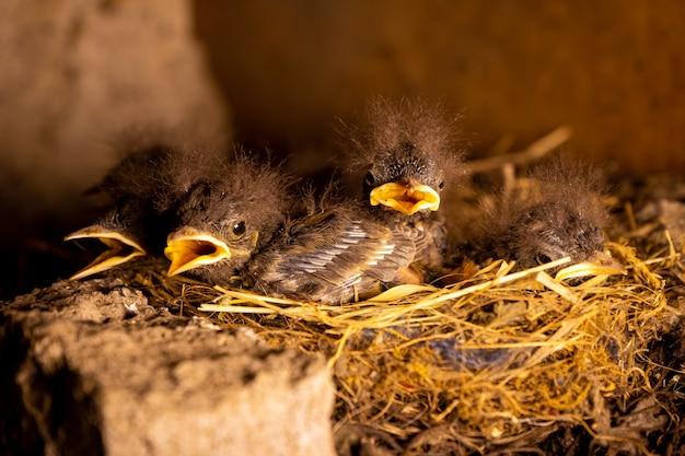 둥지에서 부화한 병아리들만 먹이를 기다리고 있다