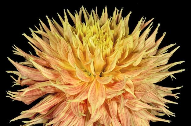 オレンジ色のダリアの花と植物のつぼみを開く