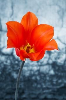 배경에 오래 된 벽과 빨간 튤립의 꽃을 엽니다.