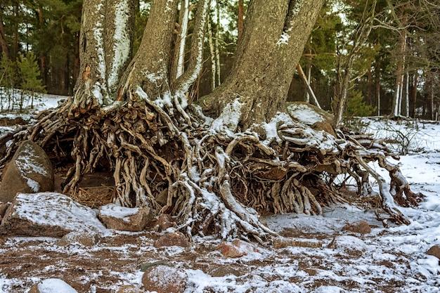 핀란드 만 해안에 소나무 뿌리를 펼칩니다.