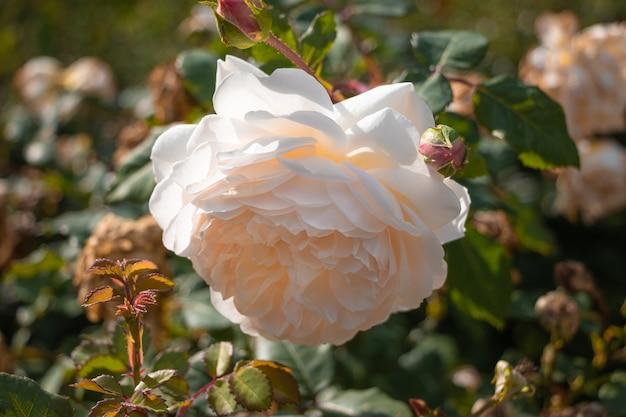 Open white garden rose bud of delicate cream tea color close-up