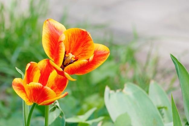 화창한 봄 아침에 튤립의 개화 꽃 봉오리를 열었습니다.