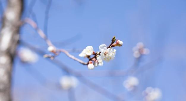 살구 나무 underneibo의 열린 꽃