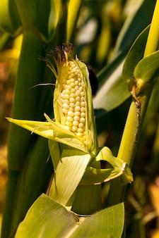 Открытый еще недозревший росток кукурузы с незрелыми зернами кукурузы