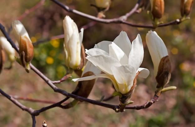 봄 날 공원에서 목련 꽃을 여는