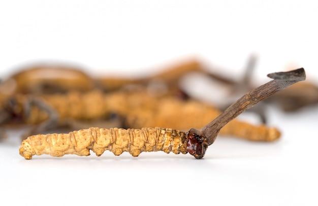 Ophiocordyceps sinensis or mushroom cordyceps this is a herbs