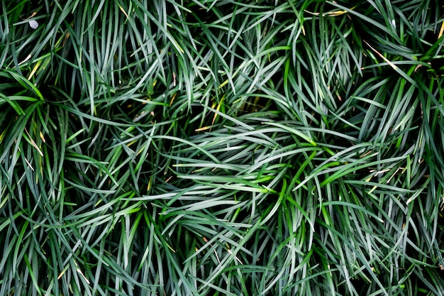 Ophiopogon japonicas leaves.