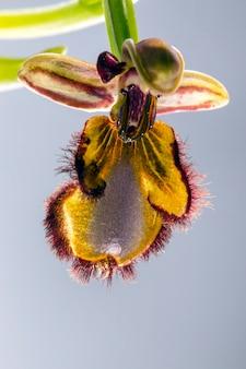 Зеркальная пчела орхидея (ophrys speculum)