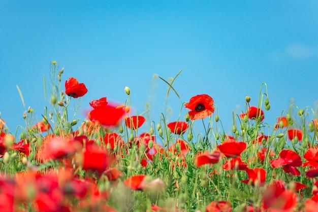 アヘン用ケシ、植物、生態学。ケシの花畑、収穫。夏と春、風景、ケシの実。