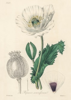 Opium poppy (papaver somniferum) illustration from medical botany (1836)
