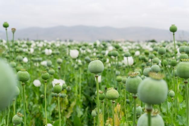 Opium poppy. papaver somniferum l,  papaveraceae, jatropha multifida l, euphorbiaceae