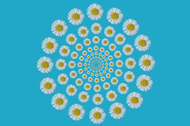 Optical illusion pattern made of daisy flower on a blue background. spring concept. flat lay photography.