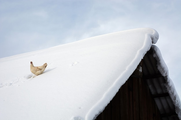 Optimistic hen sits on snow covered roof of old wooden village house
