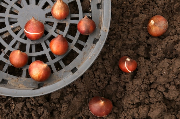 チューリップの球根をバスケットやオープングラウンドに植えるためのオプション。バスケットコンテナは、マウスから花を保護するために使用されます。あなたの庭の秋に地面にチューリップの球根を植えます。