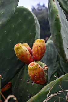 Opuntia ficus or prickly pear cactus with fruit