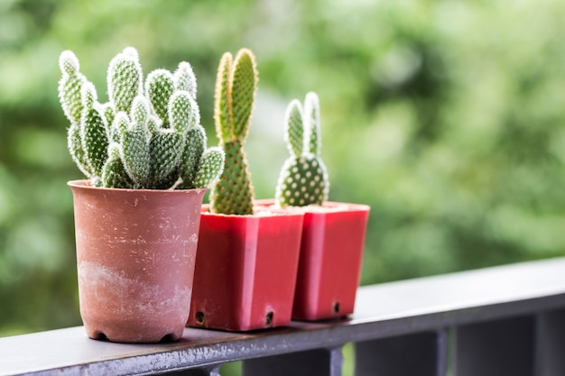 Opuntia microdasys albispina cactus in pots