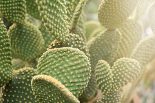 Opuntia microdasys or bunny ears cactus tree