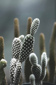 Opuntia microdasys cactus in the pot