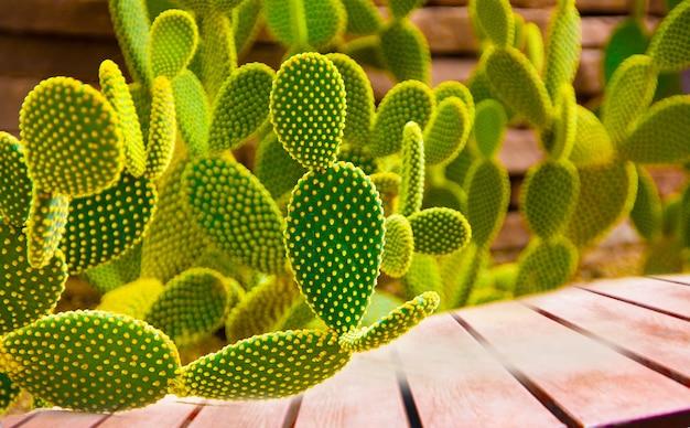 木製の床の背景に美しいサボテンopuntia microdasys