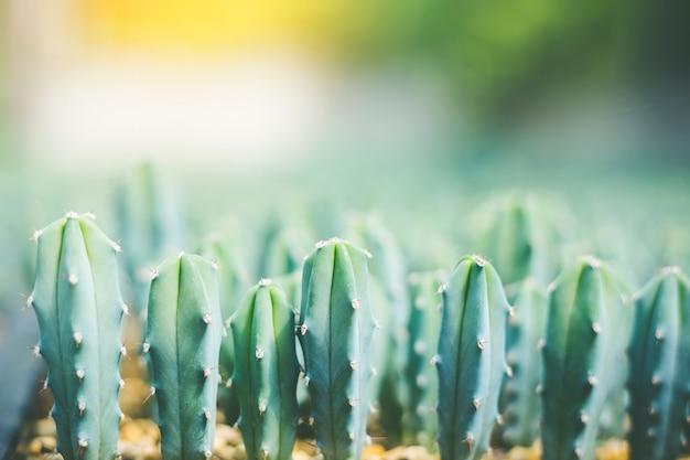Мягкий фокус зеленый кактус крупным планом кактус уши кролика или opuntia microdasys размытие фона