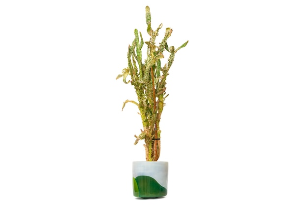 Opuntiamonacantha-白い背景で隔離の鍋にサボテンをコートします。