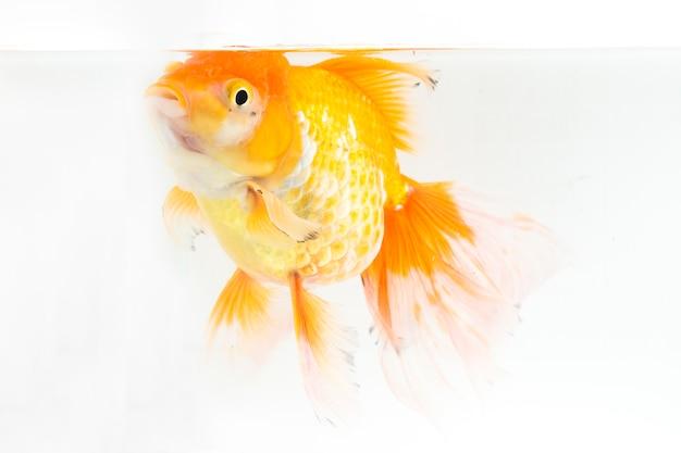 オレンジoranda金魚のクローズアップ
