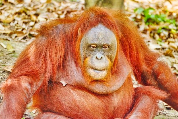 Orang utan in its natural habitat in the wild.