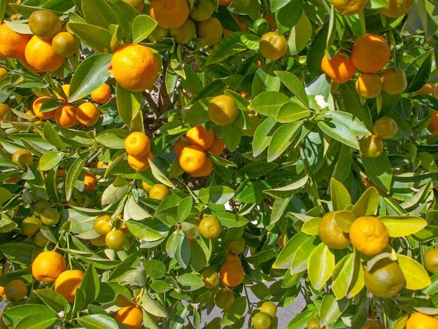 オレンジと緑のタンジェリンが木に生えています。農業、食品の概念。自然な背景