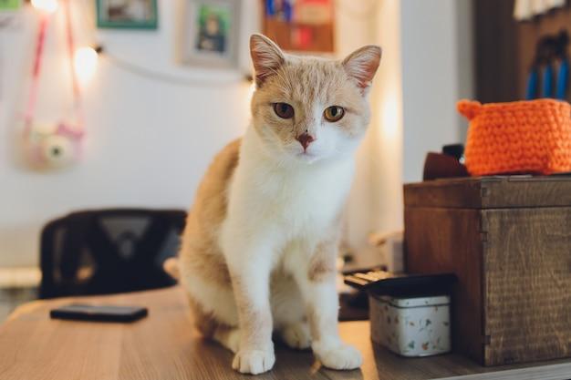 オレンジと白のマンチカン猫、短い脚小さなかわいい猫。