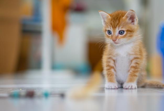 주황색과 흰색 태국 고양이, 1 개월, 집에 서.