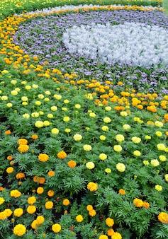 화단에 메리 골드 식물의 주황색과 노란색 꽃. 여름 배경.