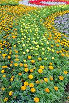 花壇にマリーゴールドのオレンジと黄色の花が植えられています。夏の背景。