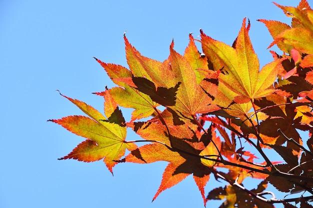 맑고 푸른 하늘에 주황색과 노란색 일본 에이서 또는 단풍잎