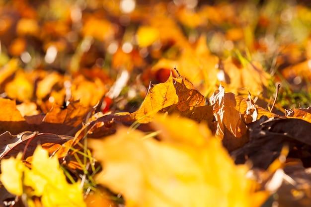 Оранжево-желтая кленовая листва в осенний сезон, кленовая листва во время листопада в парке