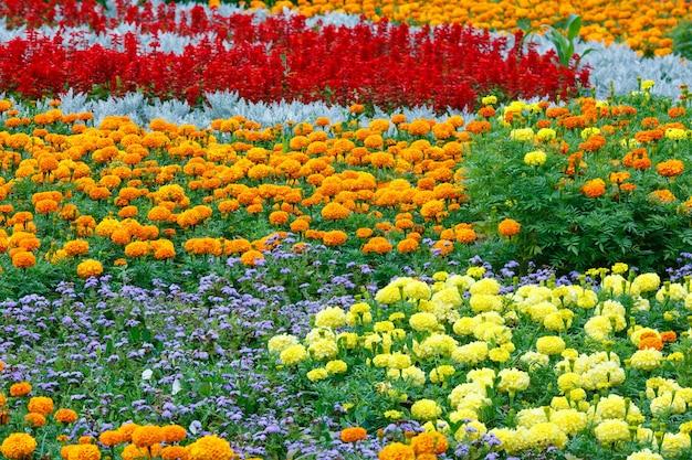 주황색과 노란색 메리 골드 꽃, 화단에 빨간색 스칼렛 샐비어. 여름 꽃이 만발한 배경.