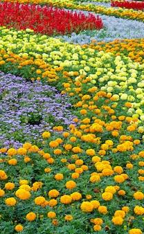 주황색과 노란색 메리 골드 꽃, 여름 화단에 빨간색 스칼렛 샐비어 식물.