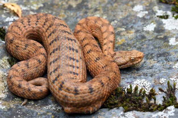 Orange asp viper (vipera aspis) in nature, digesting a prey