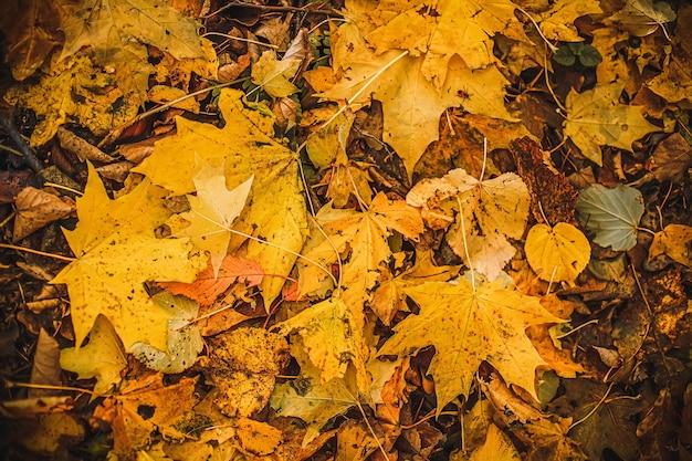 オレンジ色の紅葉の背景屋外落ちた紅葉のカラフルな背景コピースペース