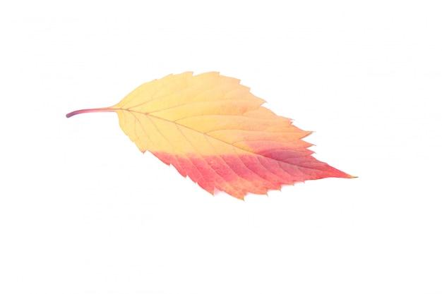 Orange autumn leaves isolated on white background