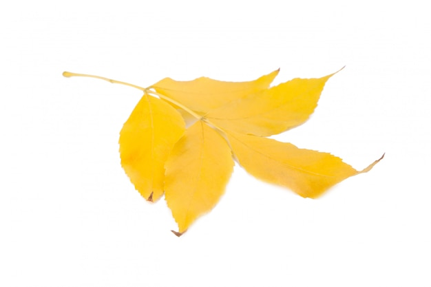 Orange autumn leaves isolated on white background