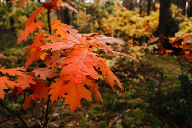 Оранжевые осенние дубовые листья в лесу