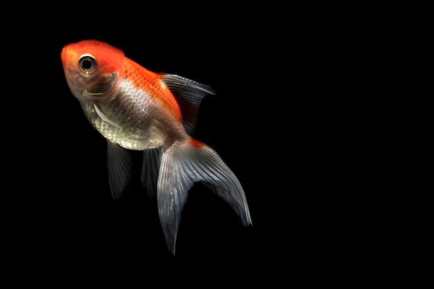 オレンジ色の美しいベタ魚分離黒背景