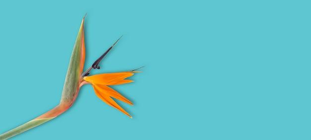 Orange beautiful sterlitzia flower on a blue background.